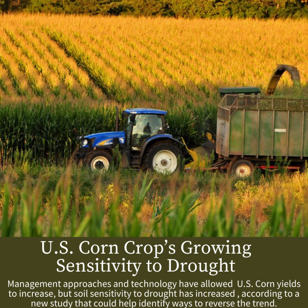 U.S. Corn Crop's Growing Sensitivity to Drought; Management approaches and technology have allowed  U.S. Corn yields to increase, but soil sensitivity to drought has increased , according to a new study that could help identify ways to reverse the trend.