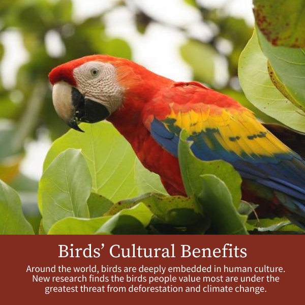 Birds' Cultural Benefits; Around the world, birds are deeply embedded in human culture. New research finds the birds people value most are under the greatest threat from deforestation and climate change.