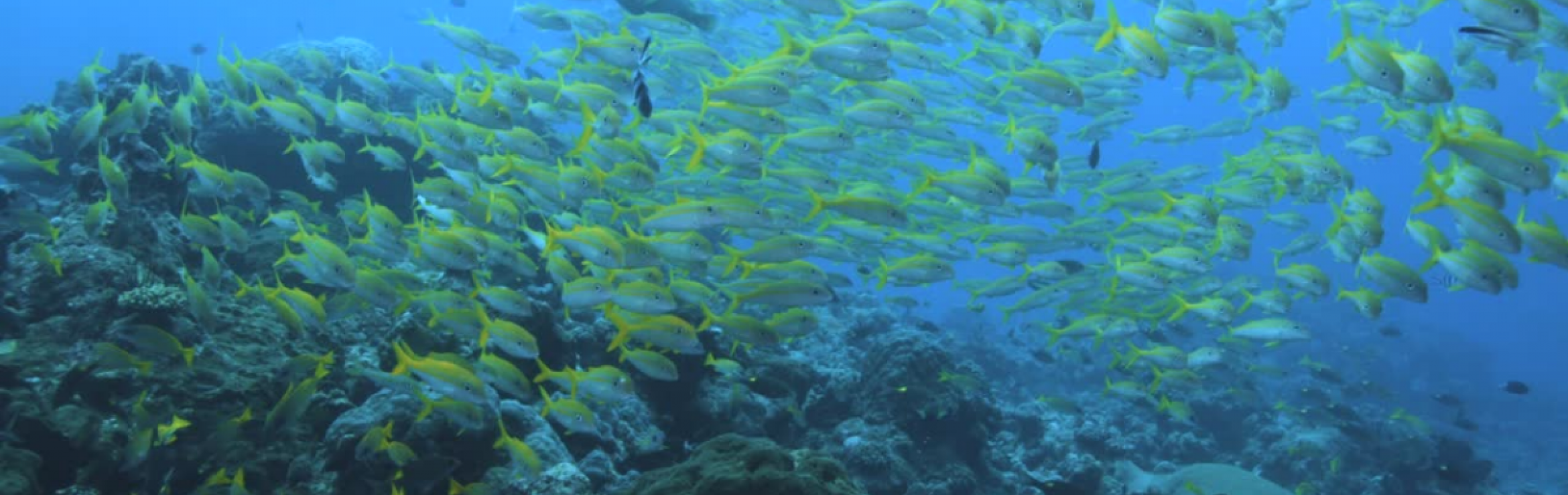 A school of yellow fish in the ocean