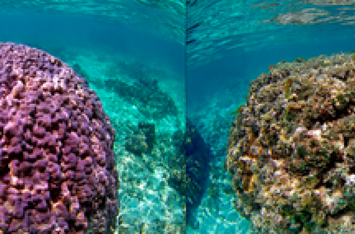 healthy and degraded corals