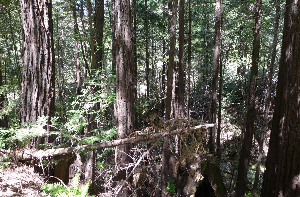 Forest in Northern California