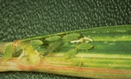 Russian wheat aphids (Diuraphis noxia).