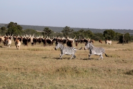 Zebras and Ankole cattle on a Kenyan ranch