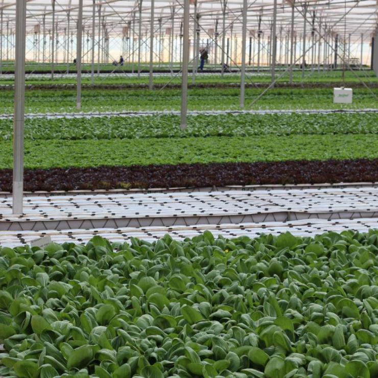 Leafy green vegetables are produced in a growing facility in Western Cape Province, South Africa.