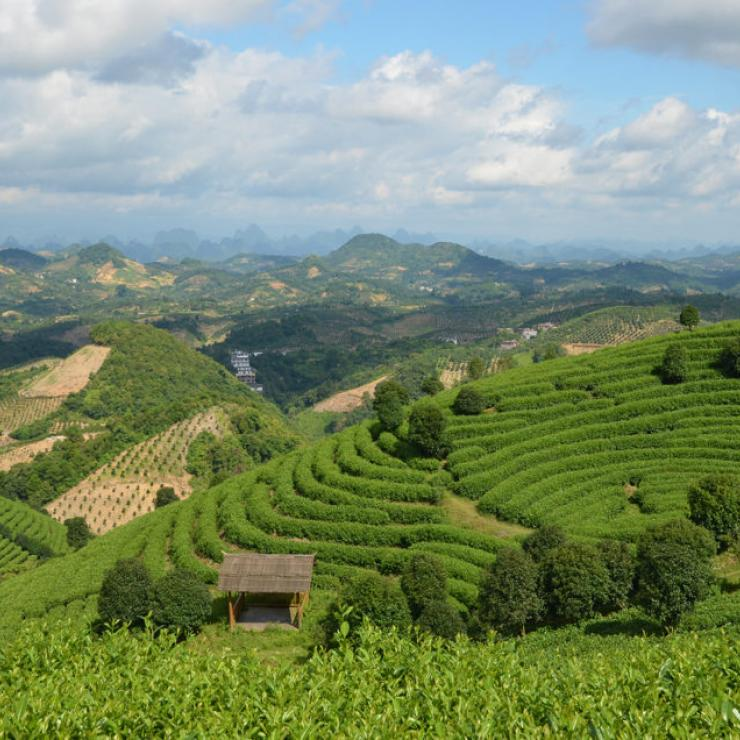 A tea plantation and surrounding landscape near Yangshuo, China.