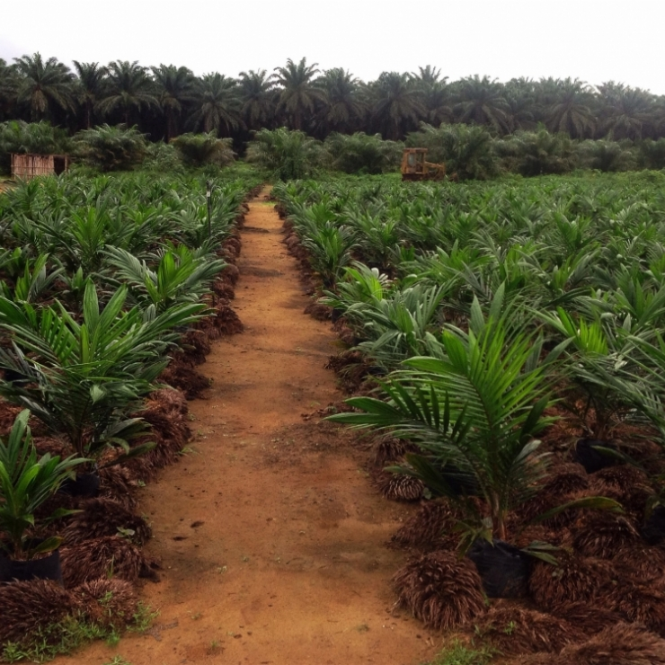 oil palm plants
