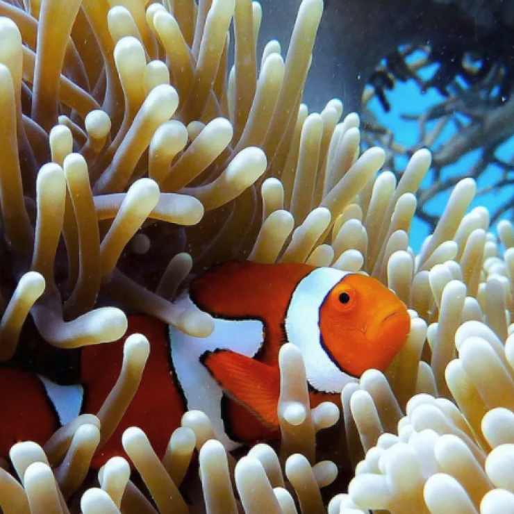 an orange and white striped fish among a coral