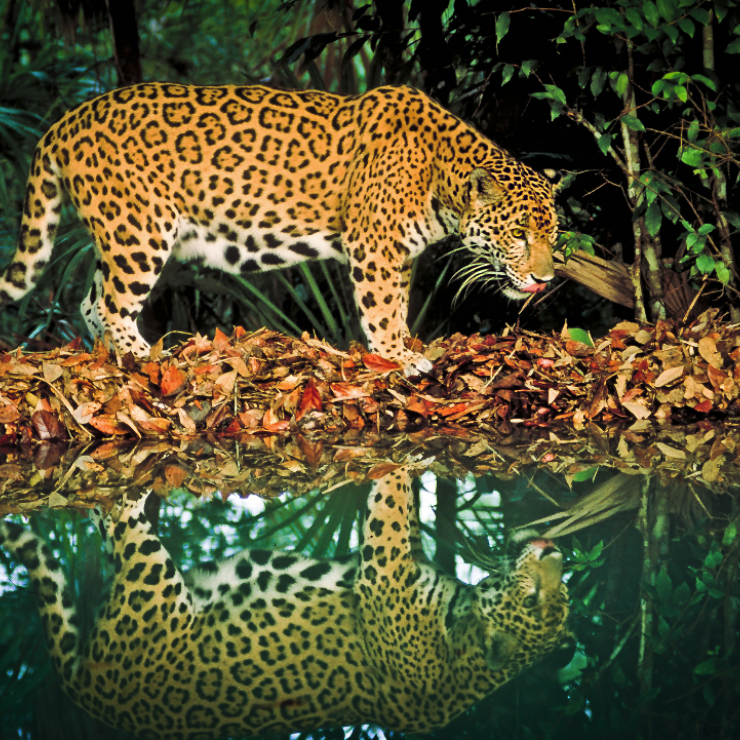 A jaguar walks next to a lake in Belize