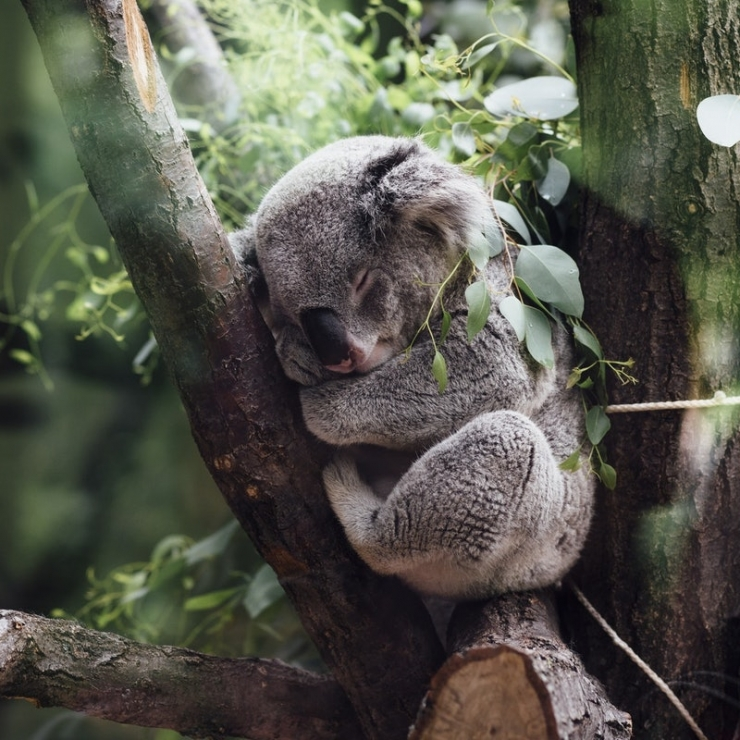 a koala sleeping in a tree