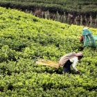 Workers harvest tea leaves in Sri Lanka